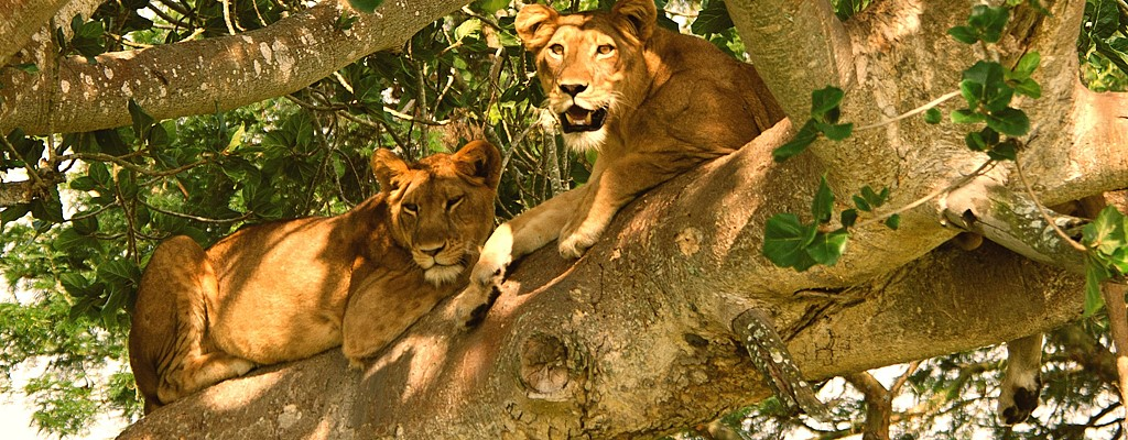 Lions Cooling In Shade Of Tree