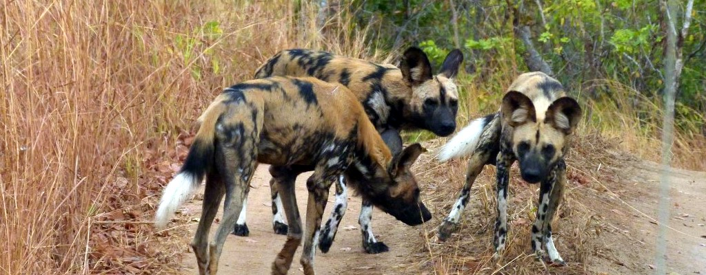 African Dogs At Selous Game Reserve